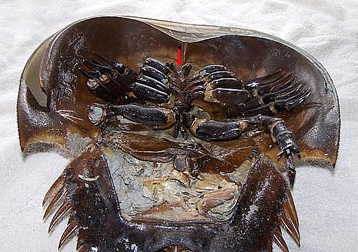 Below are two photos of a large female Horseshoe Crab  Her book gills    Horseshoe Crab Gills