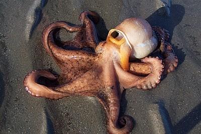 Giant Devilfish Octopus Favorite Photos I